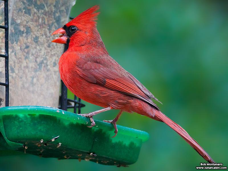 backyard_cardinal_160312_5