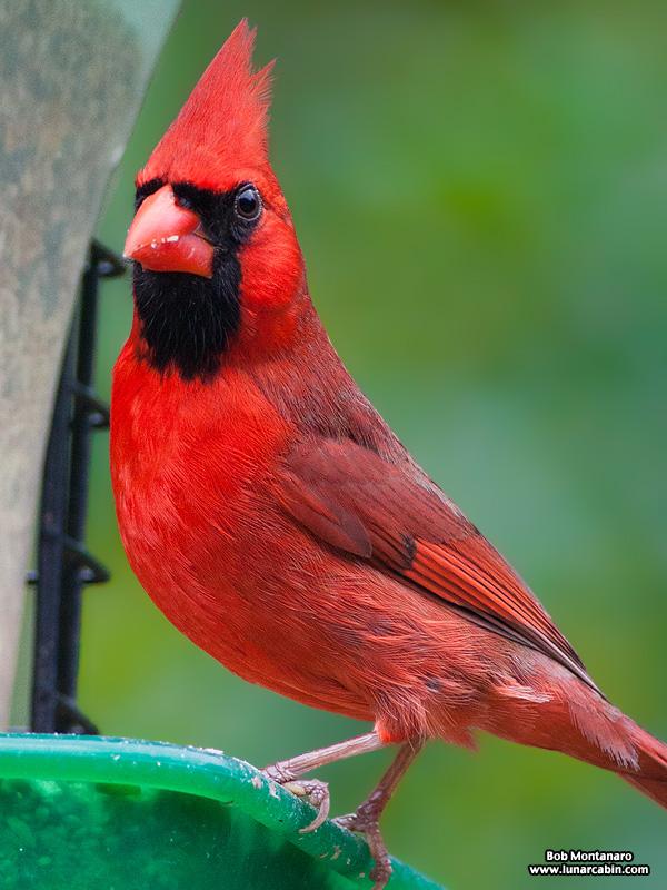 backyard_cardinal_160312_6