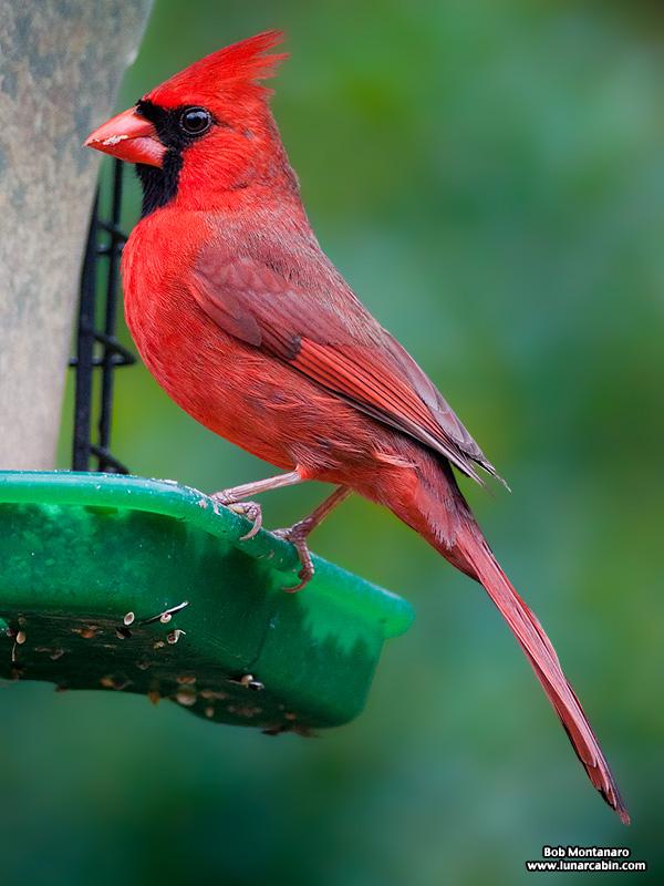 backyard_cardinal_160312_7