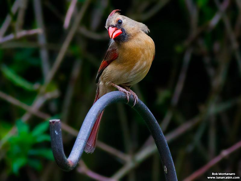 backyard_cardinal_160312_8