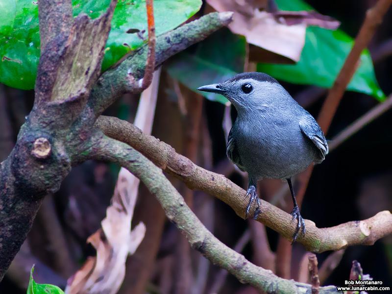 backyard_catbird_160312_1