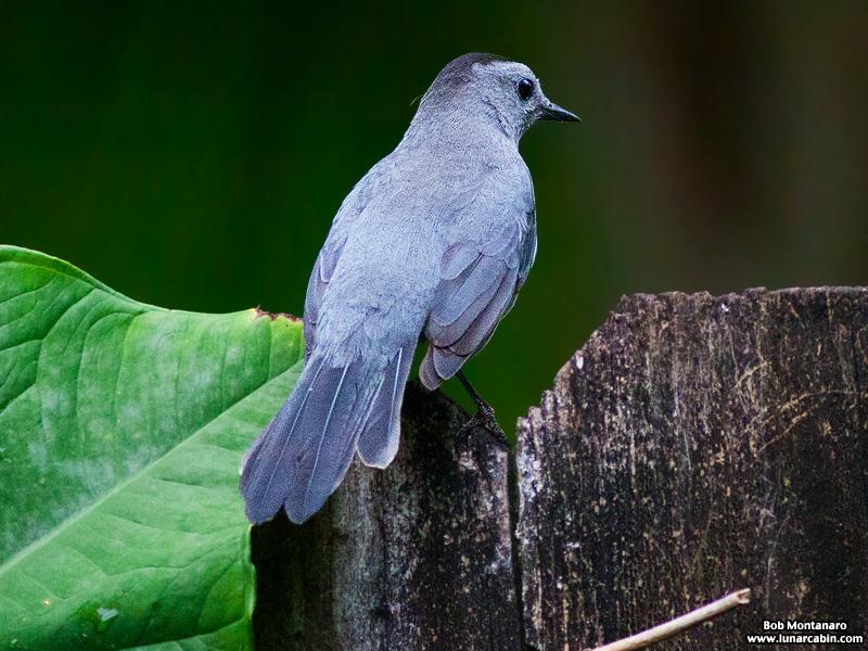 backyard_catbird_160312_10