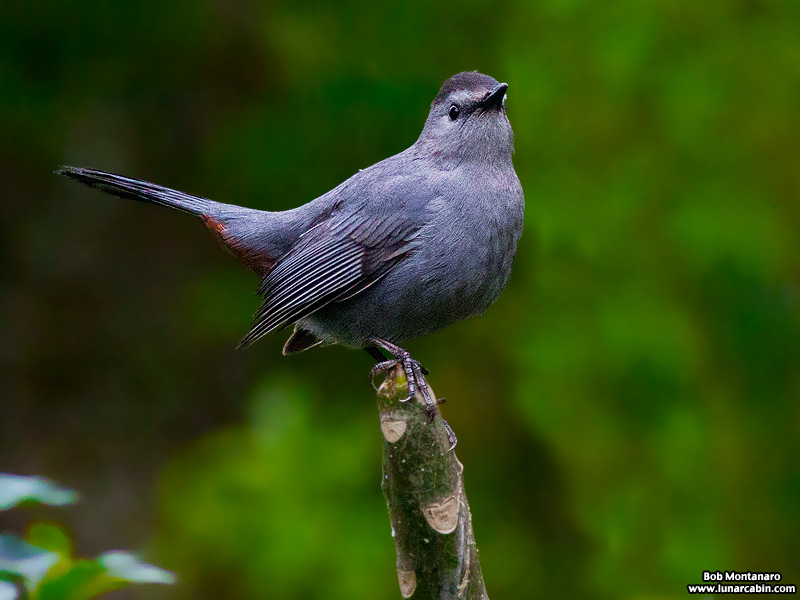 backyard_catbird_160312_2