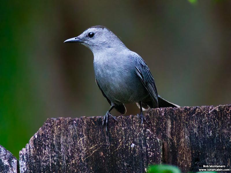 backyard_catbird_160312_4