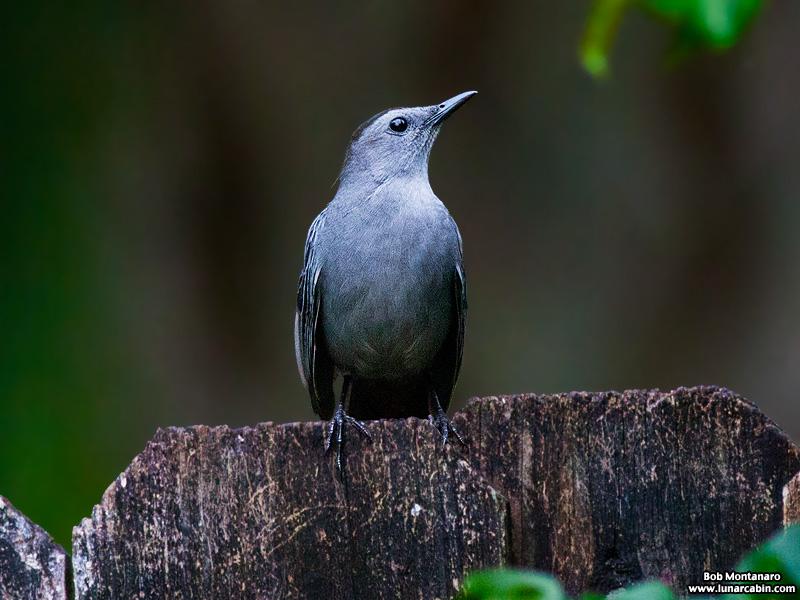 backyard_catbird_160312_5