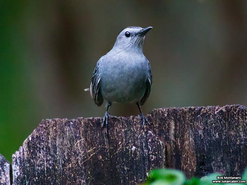 backyard_catbird_160312_6