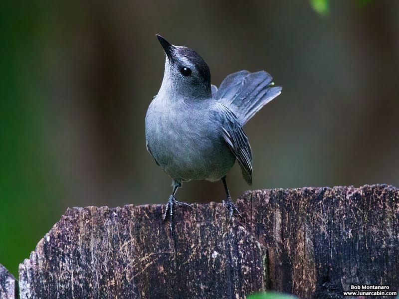 backyard_catbird_160312_7