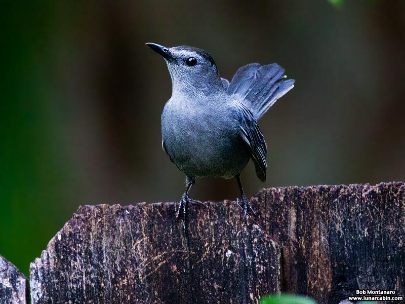 backyard_catbird_160312_8