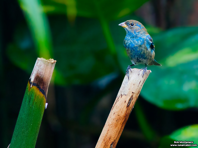 backyard_indigo_bunting_160312_1