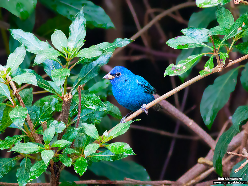 backyard_indigo_bunting_160312_2