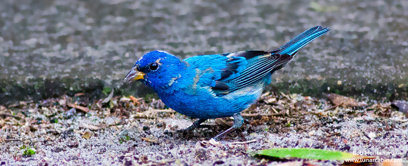 backyard_indigo_bunting_160312_3