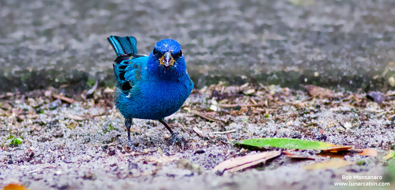 backyard_indigo_bunting_160312_4