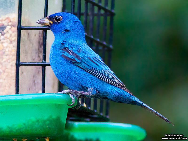 backyard_indigo_bunting_160312_6