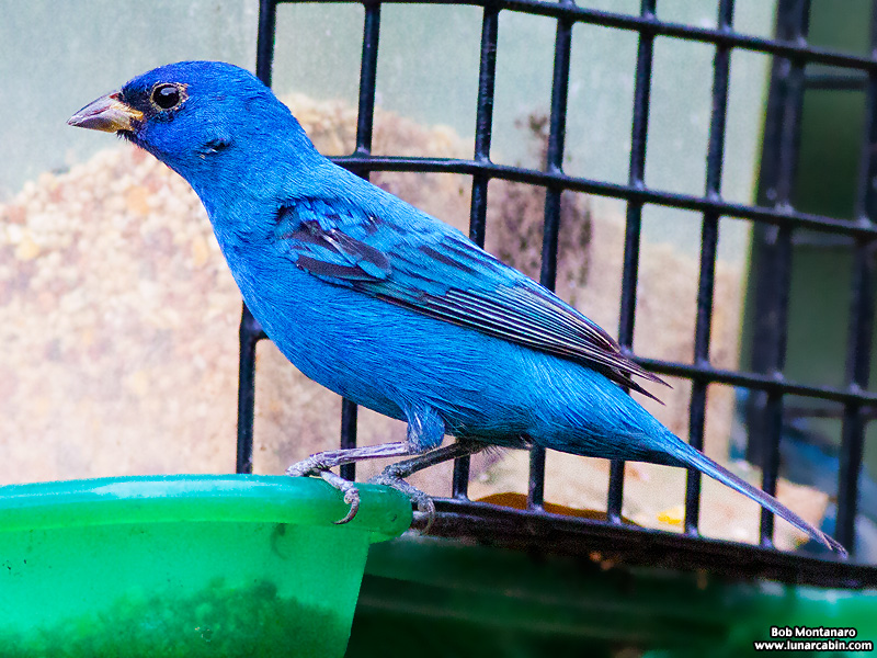 backyard_indigo_bunting_160312_7