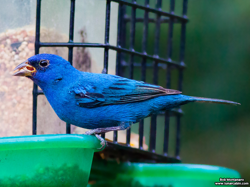 backyard_indigo_bunting_160312_8