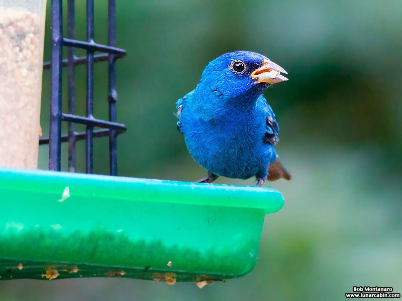 backyard_indigo_bunting_160312_9