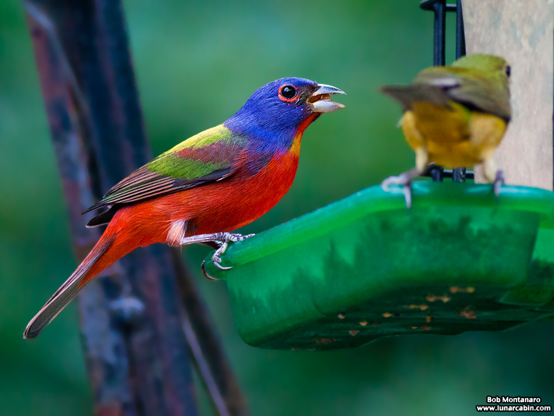 backyard_painted_bunting_160312_10