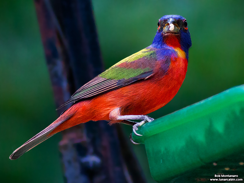backyard_painted_bunting_160312_9