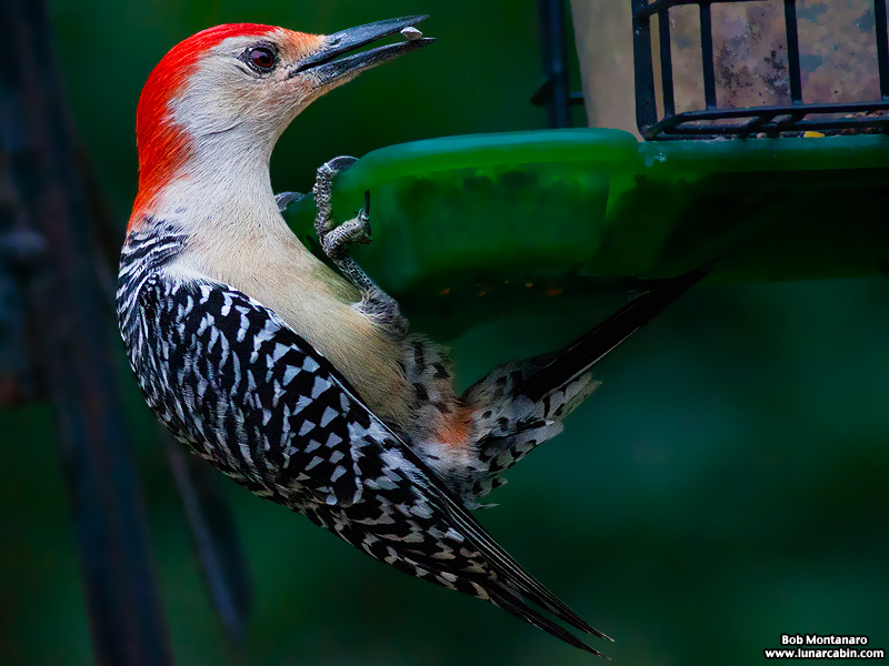 backyard_redbellied_woodpecker_160312_9