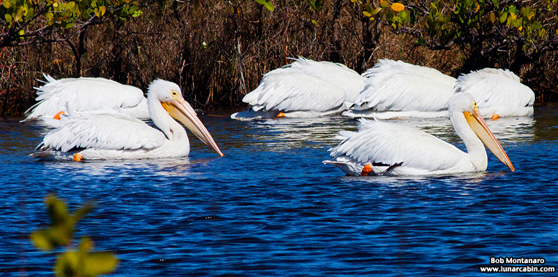 minwr_white_pelicans_160205_10