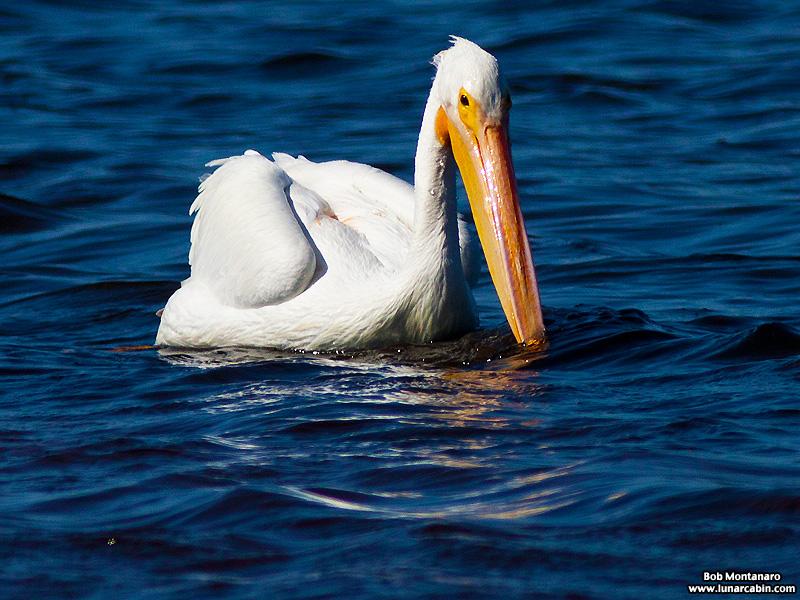minwr_white_pelicans_160205_11