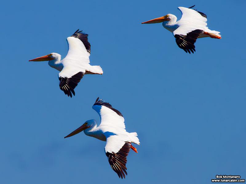 minwr_white_pelicans_160205_2