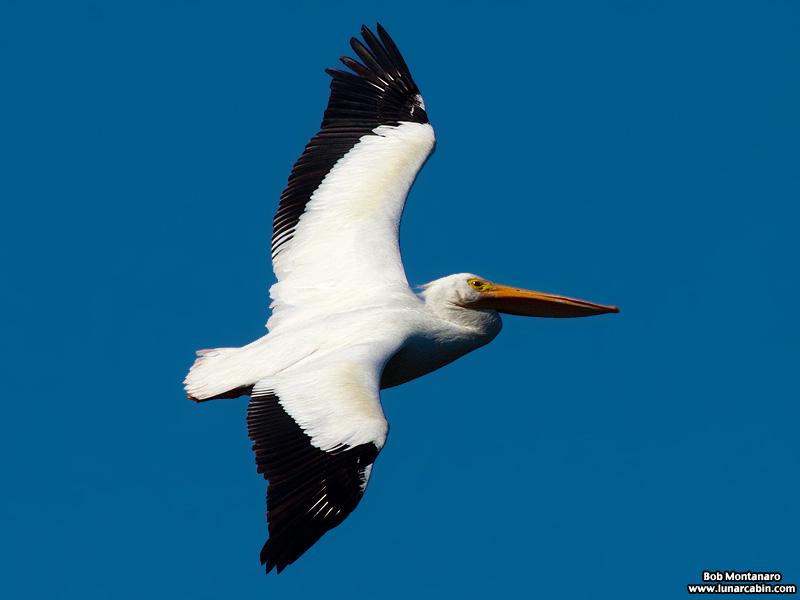 minwr_white_pelicans_160205_3