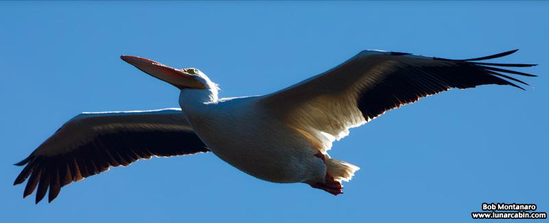 minwr_white_pelicans_160205_4