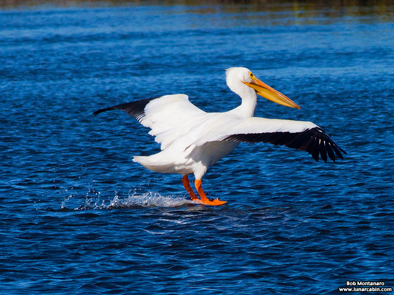minwr_white_pelicans_160205_5