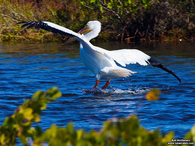 minwr_white_pelicans_160205_6