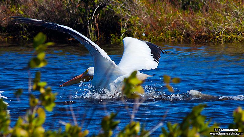 minwr_white_pelicans_160205_7