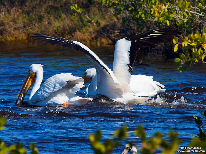 minwr_white_pelicans_160205_8