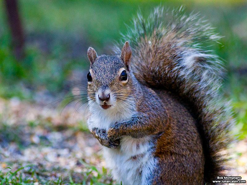 backyard_squirrel_160312_1