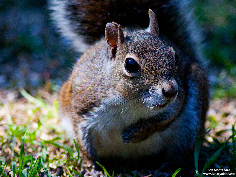 backyard_squirrel_160312_2