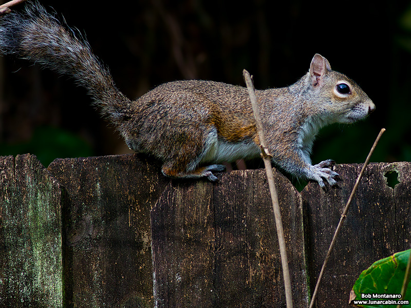 backyard_squirrel_160312_7