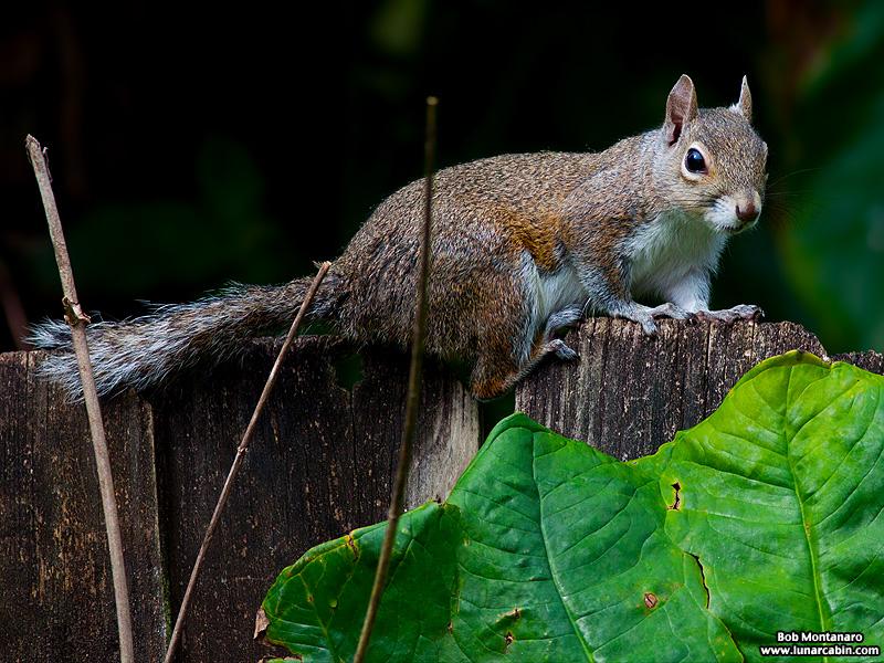 backyard_squirrel_160312_8