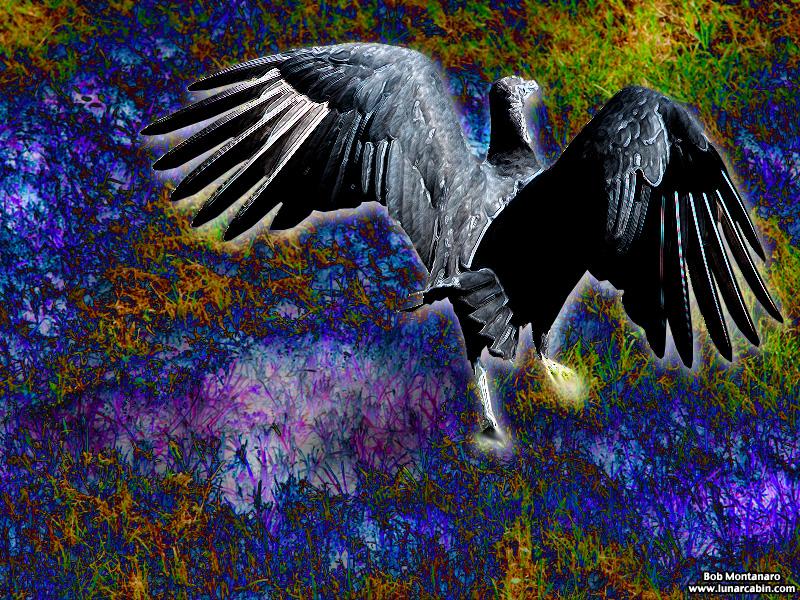 black_vulture_151031_8