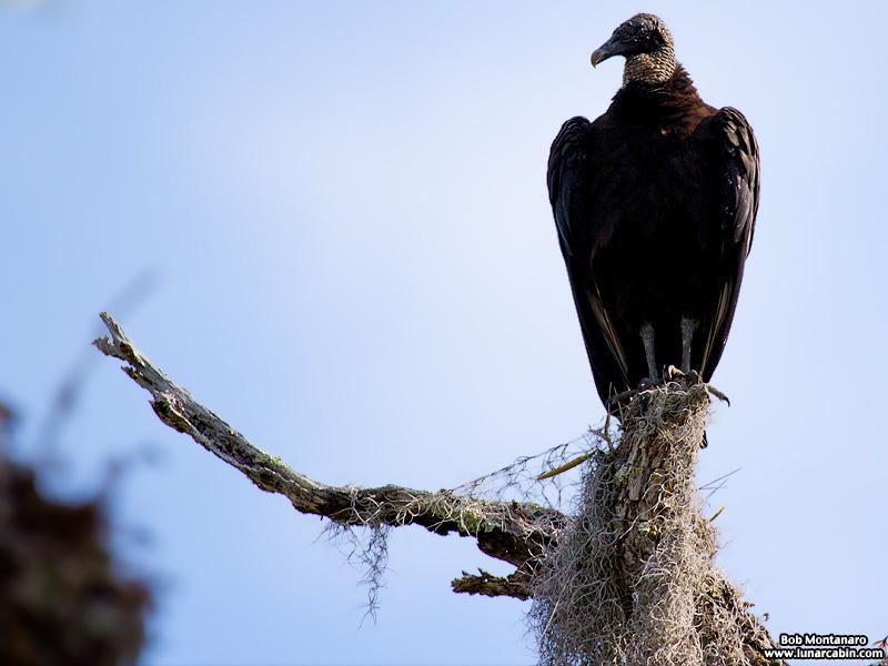 vultures_160425_2