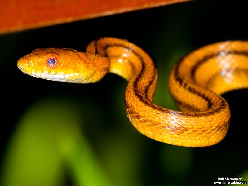 rat_snake_160501_1
