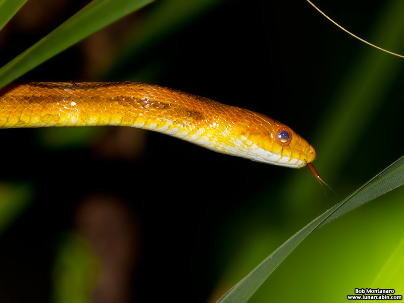 rat_snake_160501_11