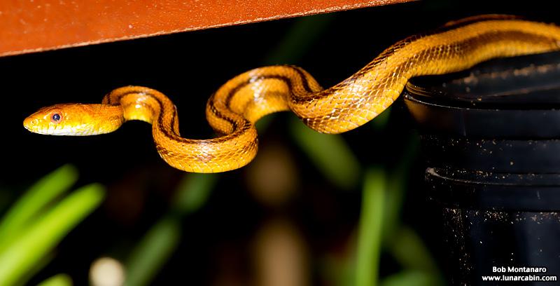 rat_snake_160501_3
