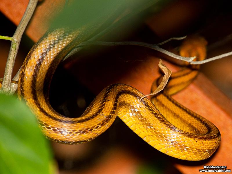 rat_snake_160501_5