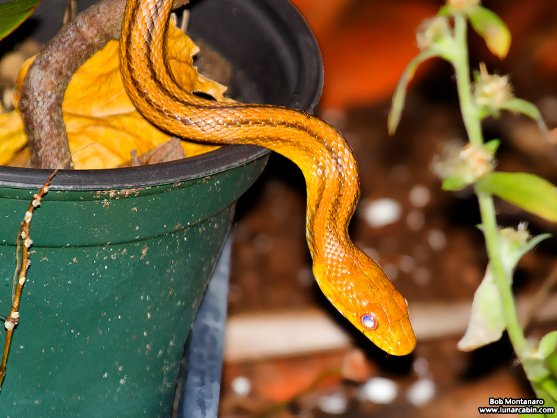rat_snake_160501_6
