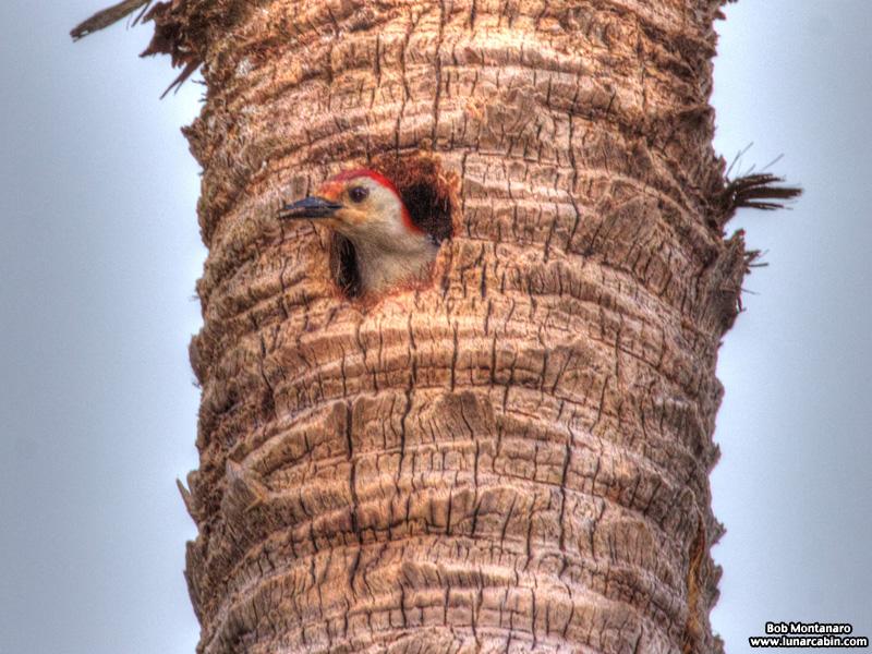 redbellied_woodpecker_160519_1