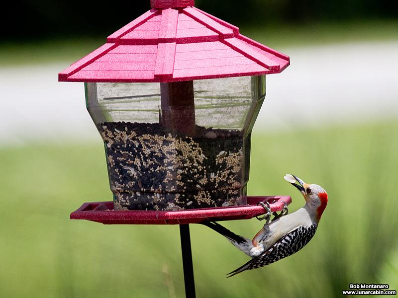 redbellied_woodpecker_160519_11