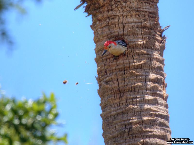 redbellied_woodpecker_160519_2