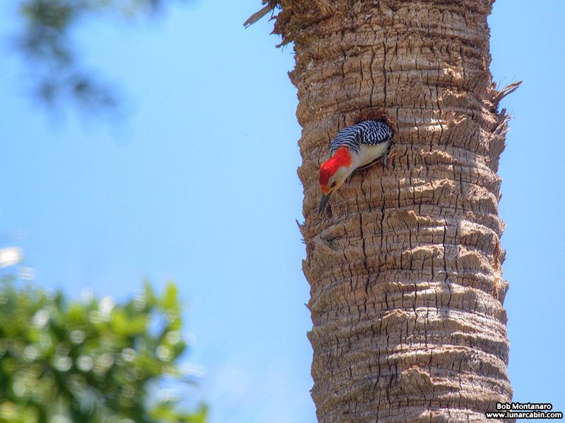 redbellied_woodpecker_160519_3