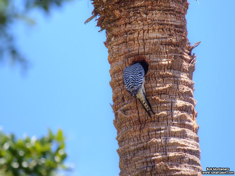 redbellied_woodpecker_160519_5