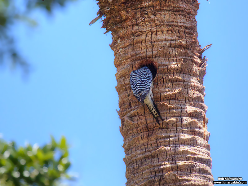 redbellied_woodpecker_160519_5