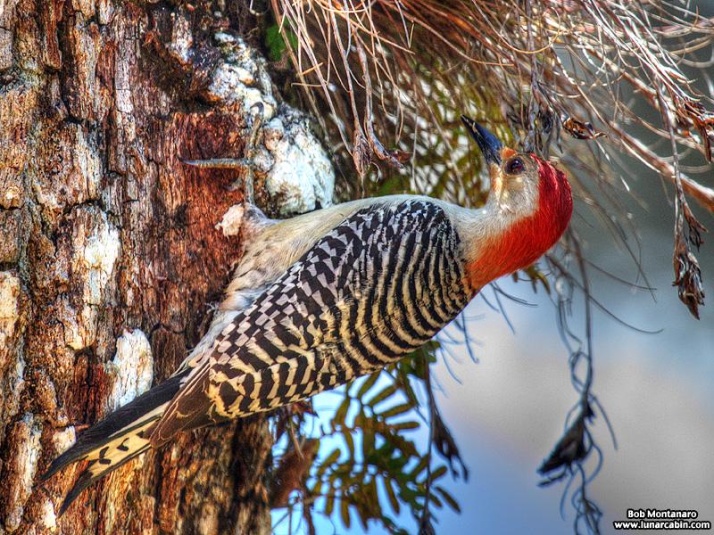 redbellied_woodpecker_160519_7